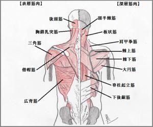 筋肉図4-300x250