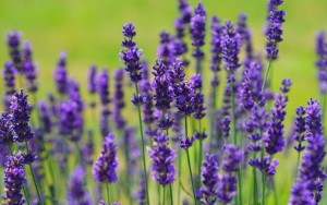lavender750