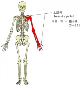 bones-of-upper-limb-2